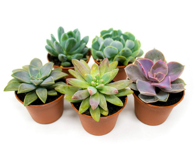set of 5 small succulents